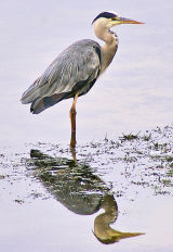 Grey Heron Reflected