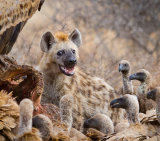 Happy Hyena