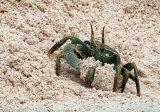 Horned Ghost Crab Digging Burrow