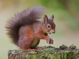 Inhabitant of Brownsea
