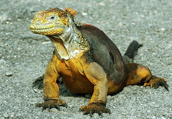 Land Iguana Colin English