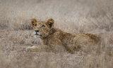 Lion Cub, Kruger