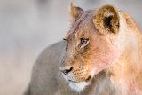 Lioness at Dawn Kruger National Park RSA