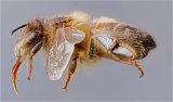 Macro Study of a Bee
