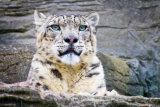 Marwell Snow Leopard
