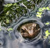 Nosey Frog