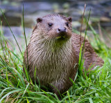 Otter from the Stour