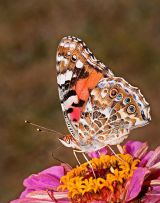 Painted Lady Feeding