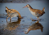 Pair of Water Rails