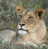 Thornybush Lion