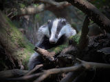 The Badger Sett