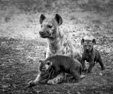 Tiny Hyena pups with Mum