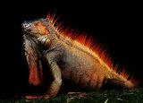 Top Iguana