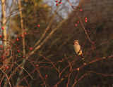 Woodgreen Waxwing