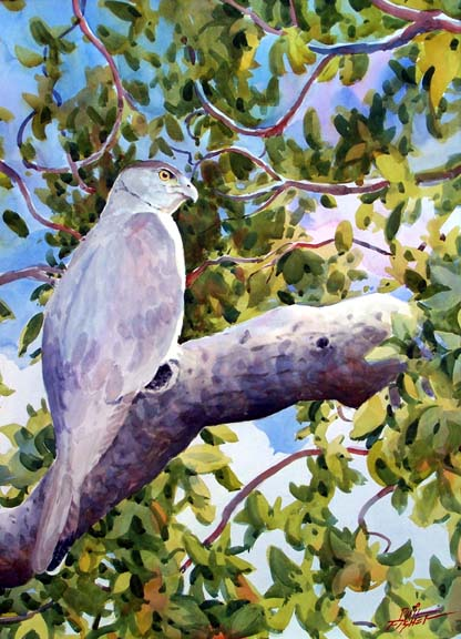 The Coopers Hawk