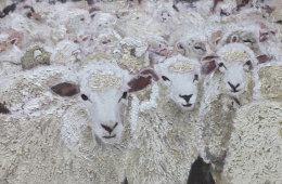 SHEEP    SOLD