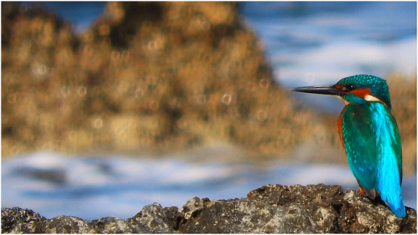 (Common) Kingfisher