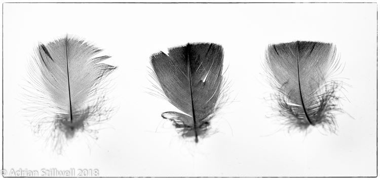 Feathers Trio