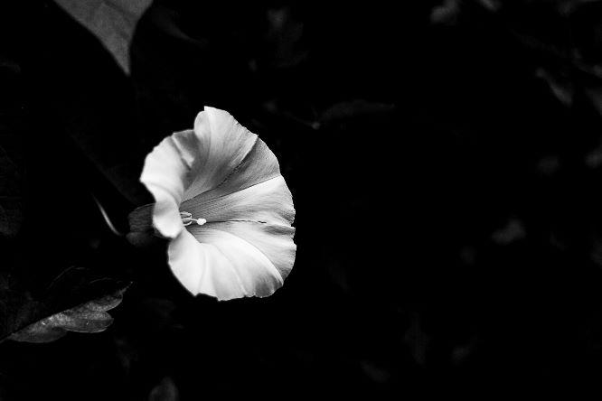 Bind Weed Flower