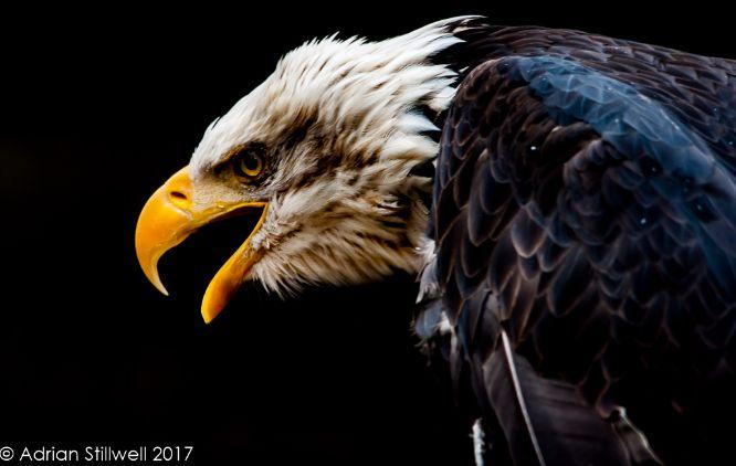 Bald Headed Eagle (Captive)