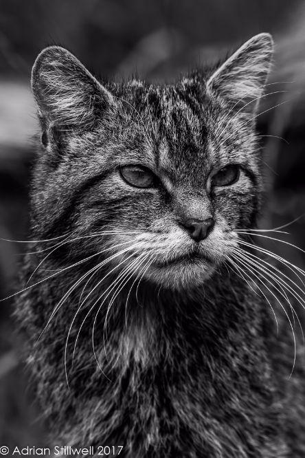 Scottish Wildcat (Captive)