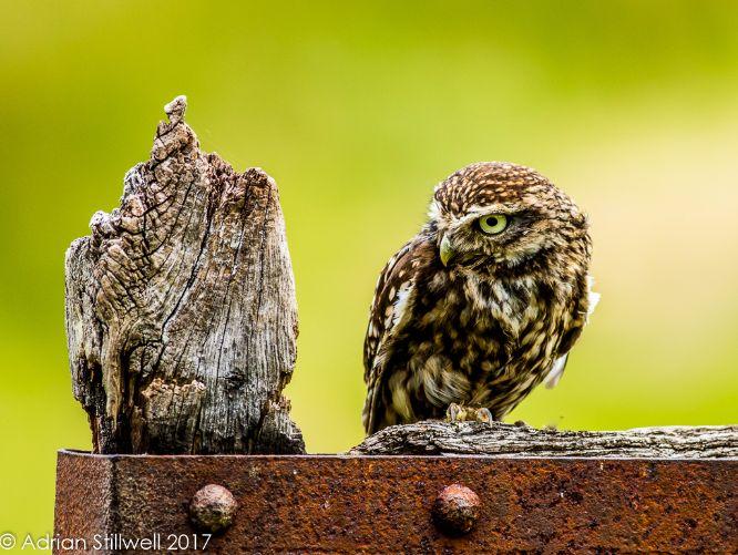 Little Owl (Captive)
