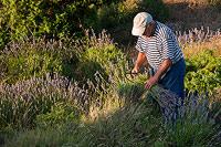 Old man harvesting Lavender