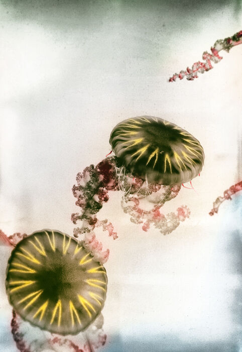 Jellyfish Three