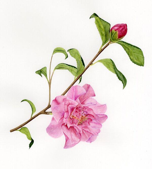 "Camellia x williamsii ""Mary Phoebe Taylor"""