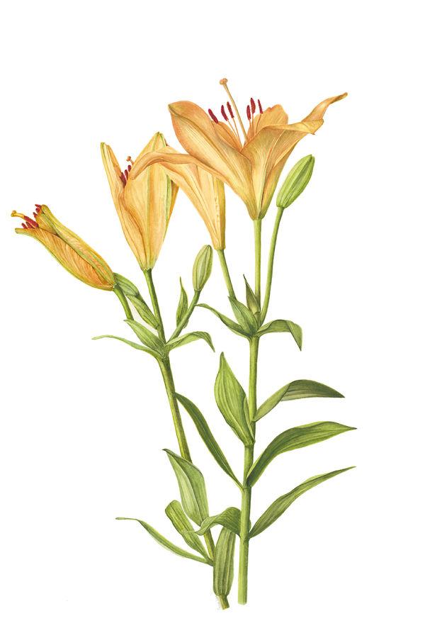 Lilium     SOLD