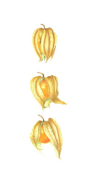 Physalis (SOLD)