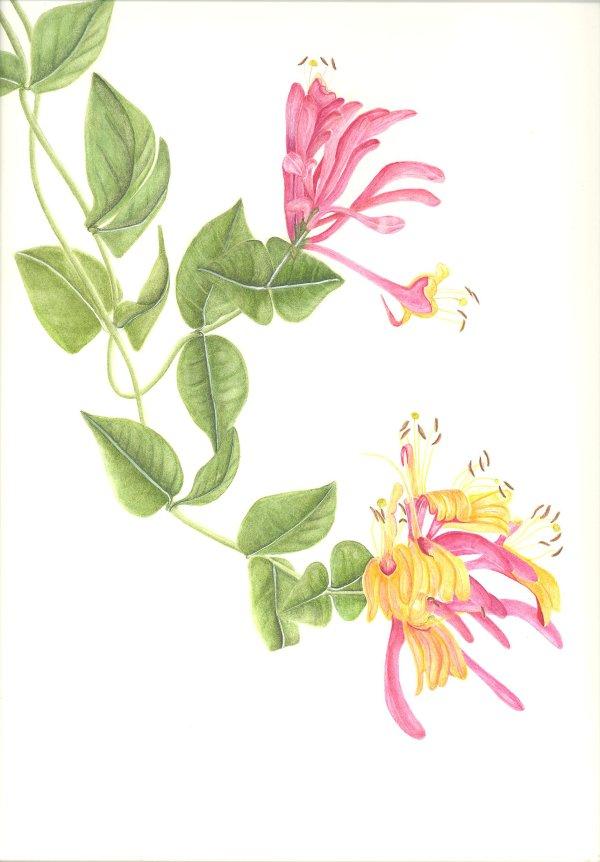 Pink Honeysuckle SOLD
