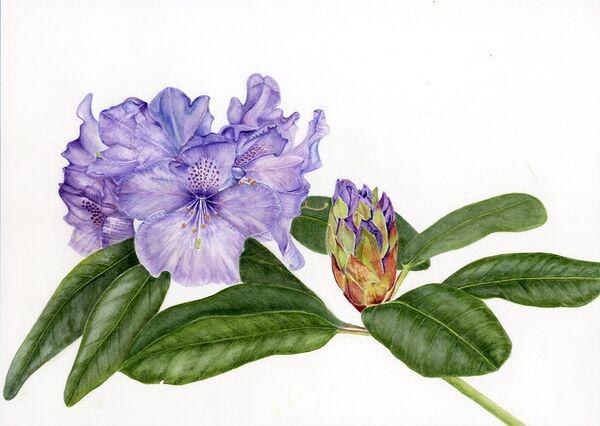 Rhododendron 'Susan'