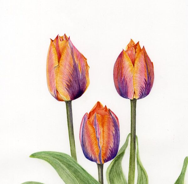 Tulipa Princess Irene