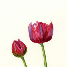 Tulip Tom Thumb