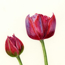 Tulipa Tom Thumb