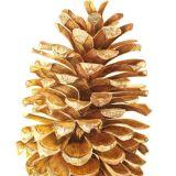 Umbrella Pine Cone