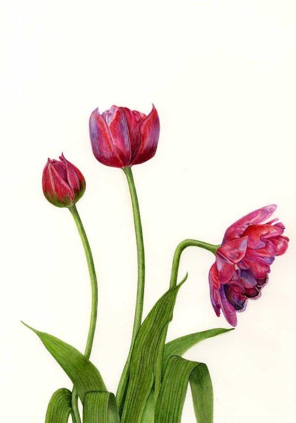 """Tulipa """"Tom Thumb"""""""