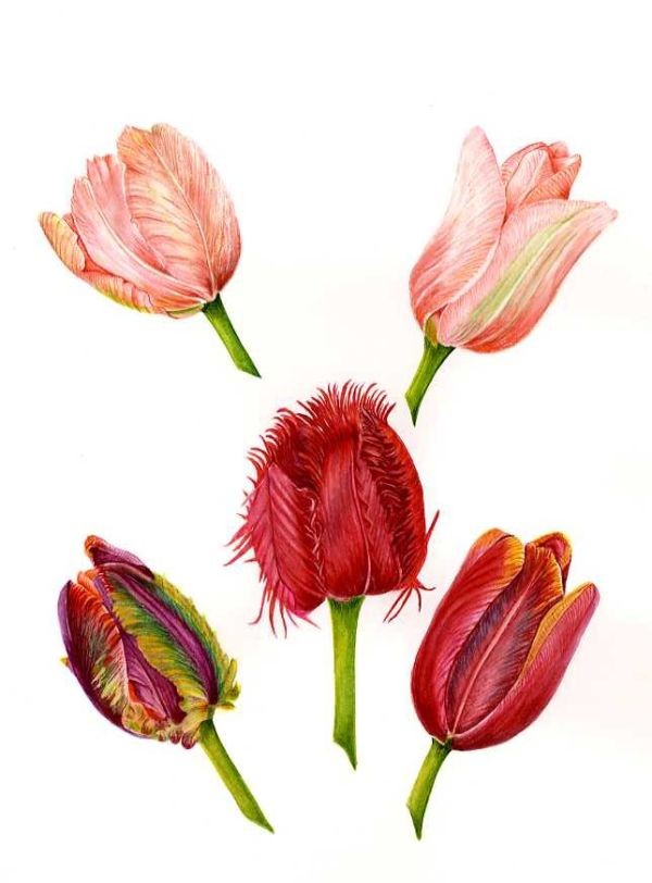 5 Tulip Heads