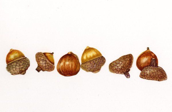 Boston Acorns