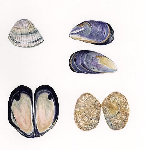 COCKLES & MUSSELS COMMISSION