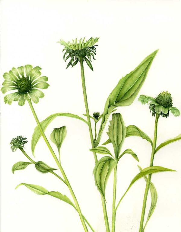 "Echinacea ""Green Jewel""   SOLD"