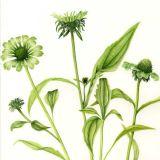 """Echinacea """"Green Jewel""""   SOLD"""