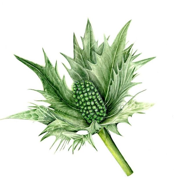 Sea Holly, Eryngium