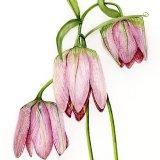 Fritillaria Walujewii