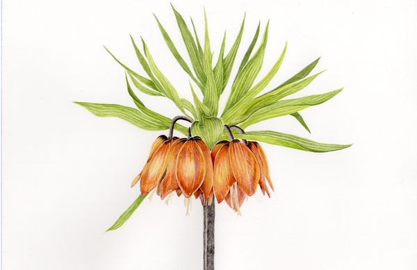 Fritillaria Crown Imperialis
