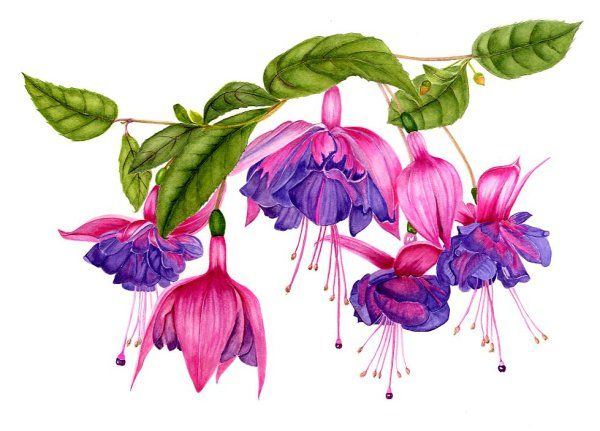 "Fuchsia ""Royal Velvet"""