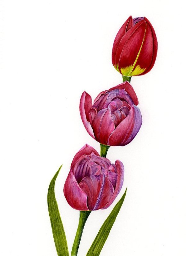 Cascading Tulips      SOLD