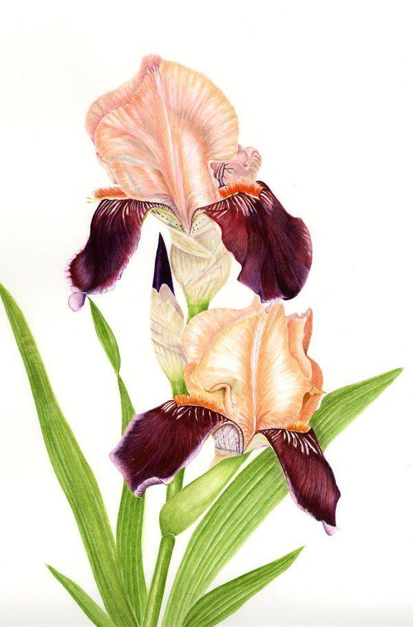 Iris 'Cinnamon Strip'