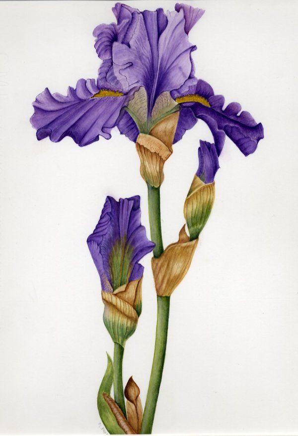 Iris 'Offenham'      SOLD